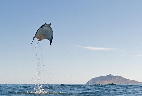 成千上万魔鬼鱼凌空飞跃墨西哥海湾