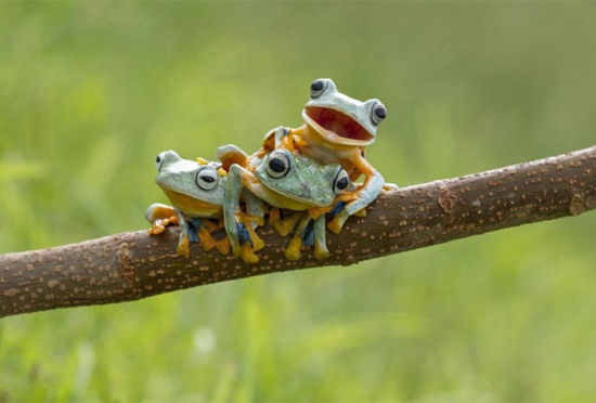 摄影师抓拍三只树蛙叠罗汉的萌图