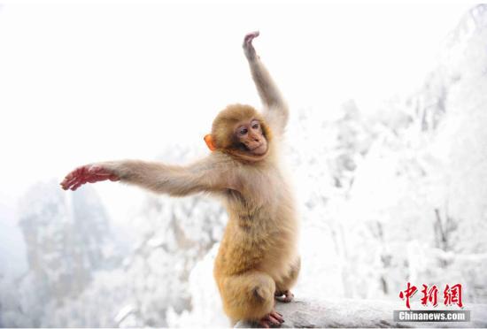 张家界黄石景寨区猕猴雪中伸懒腰卖萌