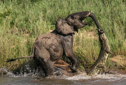 大象喝水时被鳄鱼咬住鼻子用脚猛踹逃脱