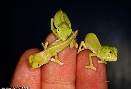 澳动物园变色龙幼仔仅手指大可爱至极