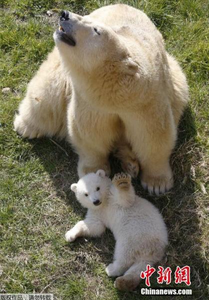 小北极熊生于2014年11月26日,面对镜头,它吐舌头做鬼脸,甚至抬起爪子