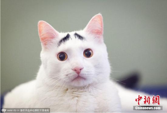 美国猫咪天生长八字眉长相搞笑走红网络