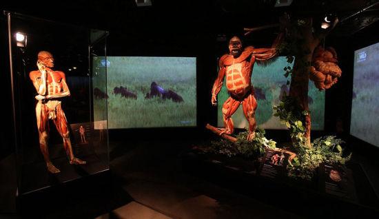 【环球网综合报道】据美国《纽约每日新闻报》3月11日报道,死亡博士Dr. Gunther. von. Hagens (冯٠巩尔特٠哈根斯) 于3月11日当天在爱尔兰都柏林的百老汇剧院举办最新动物解剖展,呈现了一个其妙的解剖构造世界。   展会中随处可见骨头肌肉清晰可见的动物标本。这场展览展出了约100个动物塑化样本,对大象、猩猩、长颈鹿、黑熊,鲨鱼等许多动物进行解剖展示,为参观者们提供一次解刨学之旅。馆长安吉丽娜博士在其官网上称:这场展览一方面可以看到脊椎动物的解刨过程