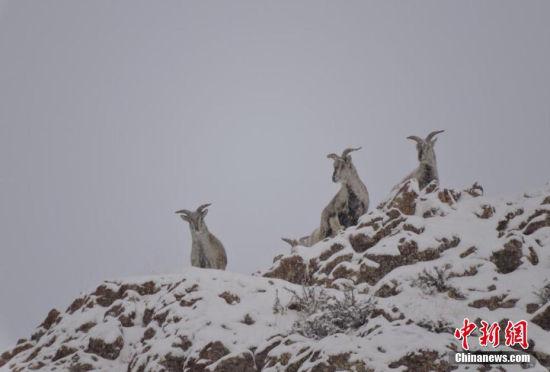 甘肃肃北现珍贵物种岩羊攀岩跳跃似精灵
