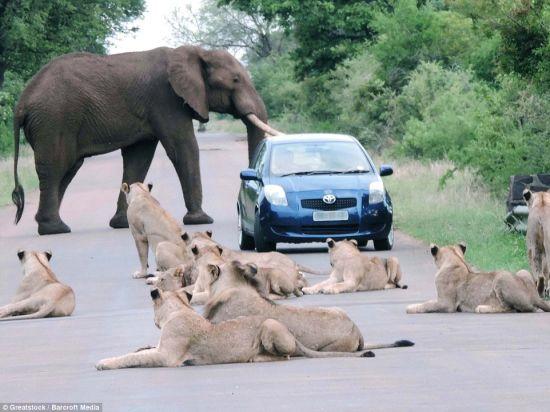 前有猛虎后有巨象汽车南非路上陷窘境