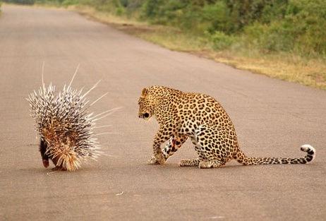 摄影师捕捉猎豹与豪猪交战猎豹知难而退