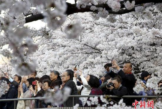 日本迎赏樱季民众徜徉花海流连忘返