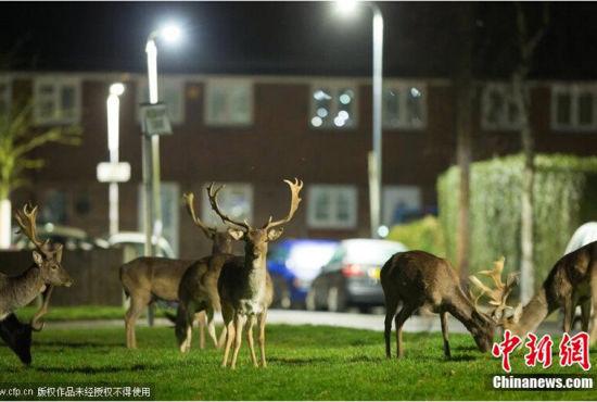 英国多头野鹿深夜闯入居民区啃食草坪