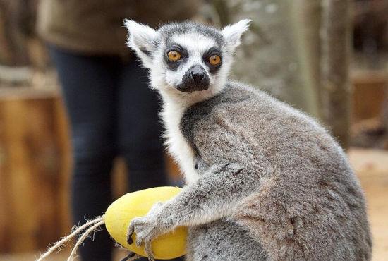 英国伦敦动物园为狐猴准备复活节彩蛋
