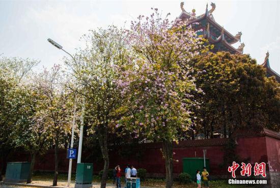 福州街头羊蹄甲花竞相开放花朵布满枝头