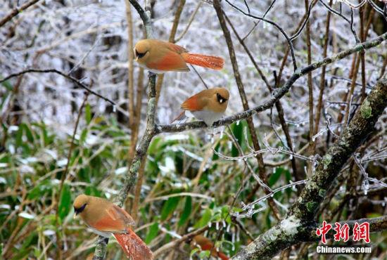 黄山4月飘雪冰凌挂枝宛如冰雪童话