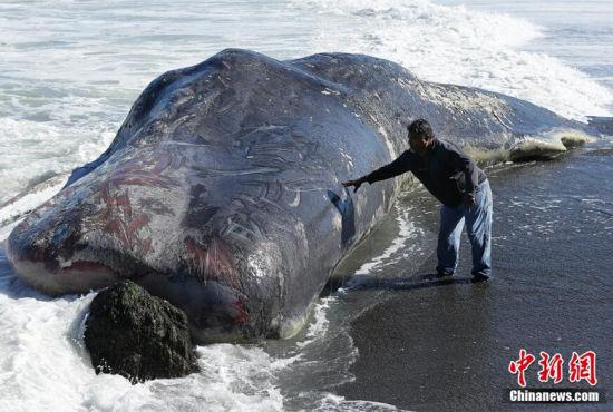 美国海滩现50英尺长巨型抹香鲸尸体