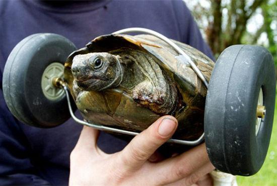 英国一主人为受伤宠物乌龟安装假肢