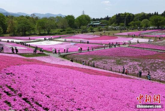 日本公园芝樱怒放游人赏花流连忘返