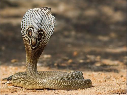扁颈:眼镜蛇