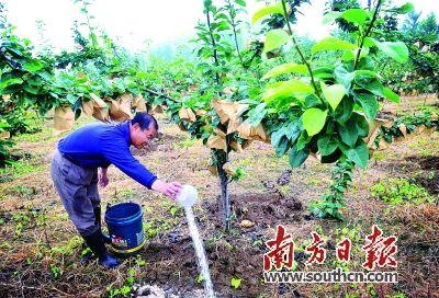图为村民为水晶梨树施肥
