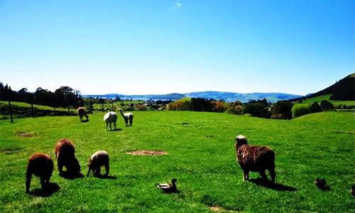 新西兰鲜奶5天从新西兰农场到中国餐桌