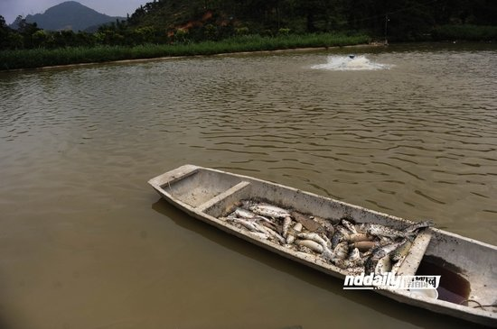 鱼塘死亡的鱼超过万斤,死鱼堆在木船上。