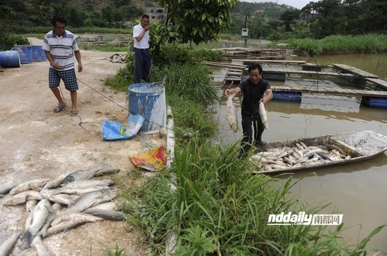 鱼塘死亡的鱼超过万斤,工人在清理死鱼。