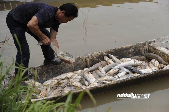 已经可以出产的鱼发生死亡,工人在清理死鱼。