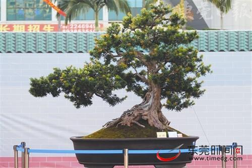 树种为海岛罗汉松