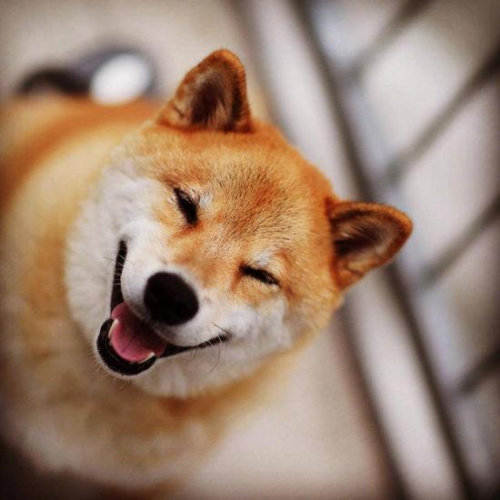 融化人心萌萌哒 柴犬maru微笑写真