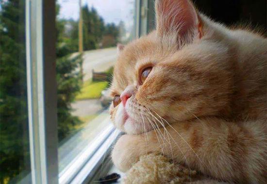 喵星人有着天生的傲娇气质,很多人都说猫不会像狗那般与人亲密。甚至有些主人觉得,为喵星人付出那么多,可它还是冷冷淡淡,不太重视自己。这组窗台上的喵星人,大家可以看到猫咪在窗口等待主人回家的场景。仿佛在告诉主人:我不是不爱你,而是在用自己的方式表达对你的爱。 窗台上的喵星人