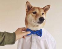 柴犬当模特