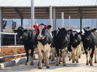 澳洲奶牛移居连州 温氏乳业加快开拓成品奶市场