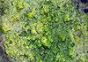 莞人工湖绿藻凶猛