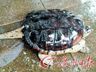 珠江现鳄鱼龟江中无敌手 专家:勿随意放生