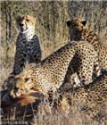 猎豹联合攻击