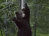 棕熊挥手问候