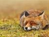 温暖人心的狐狸